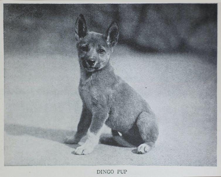 Image of a dingo pup