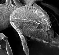 Scanning electron microscope image of an ant. Credit: Wikimedia commons