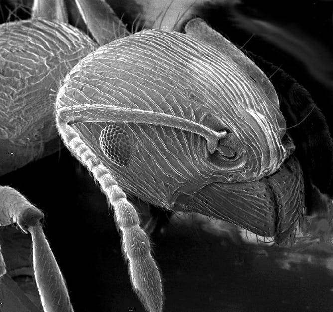 Scanning electron microscope image of an ant. Photo credit: Wikimedia Commons.