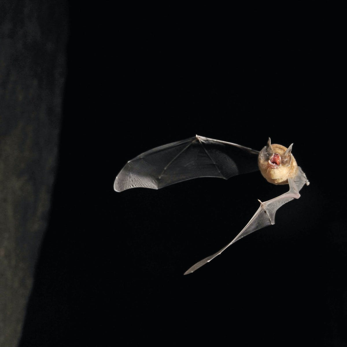 Pitch perfect: small bats squeak higher, but not due to size