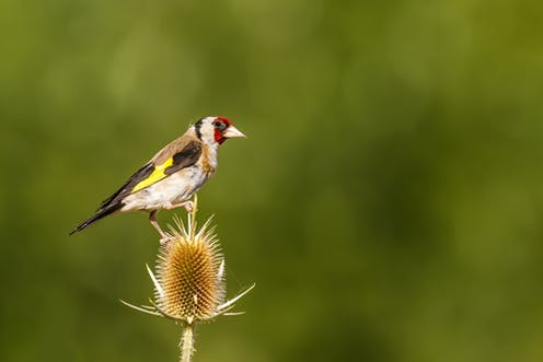 goldfinches need protection migrating songbirds might be vanishing