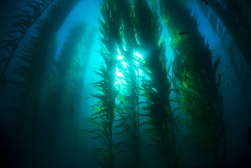 How farming giant seaweed can feed fish and fix the climate