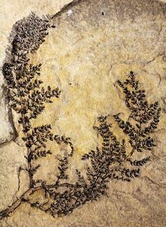 Cette plante aquatique trouvée en Espagne, vieille de 130 millions d'années, est le plus ancien fossile de fleur connu à ce jour.