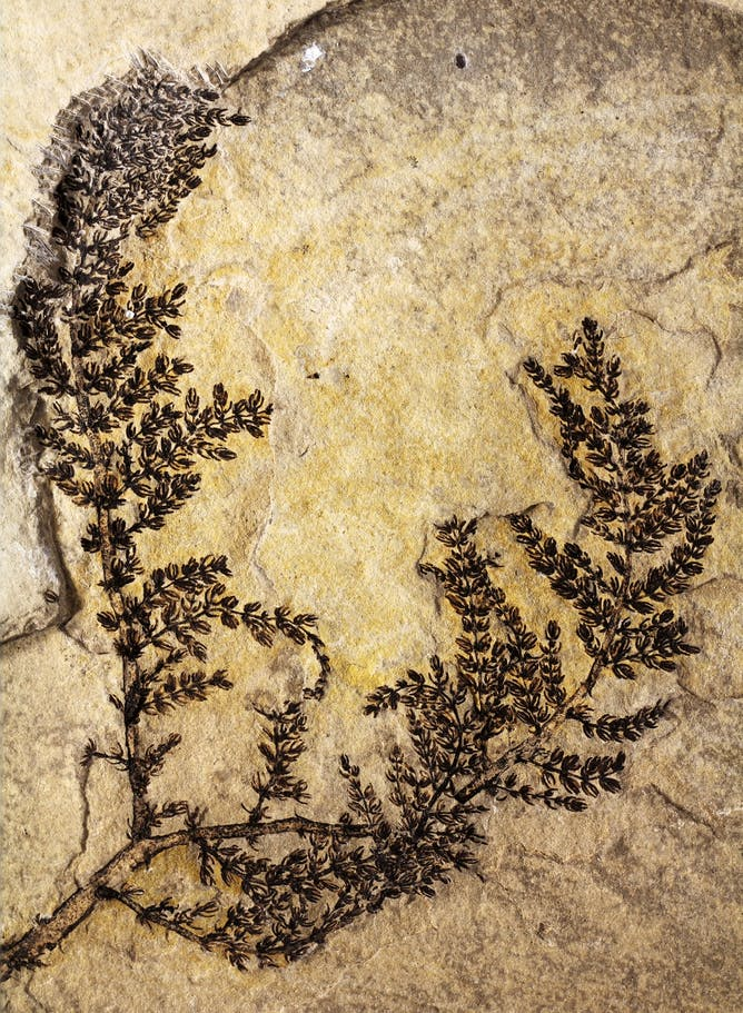 The oldest flowering fossil, a 130m-year-old aquatic plant found in modern day Spain. Gomez et al / PNAS