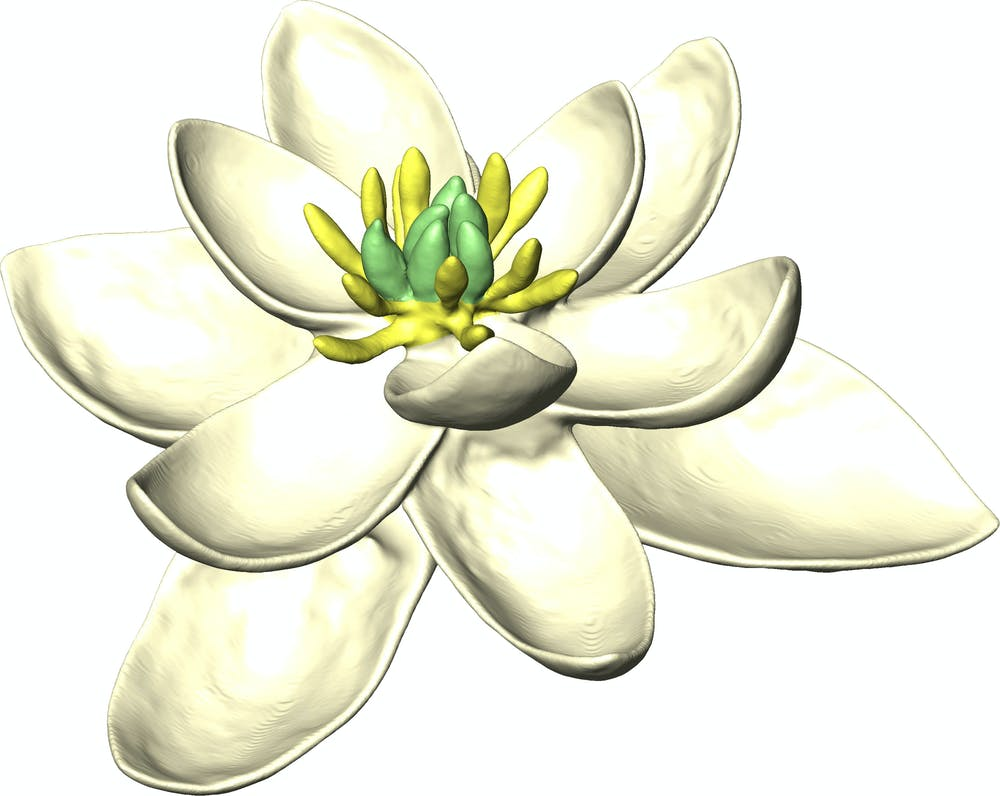 Revealed the first ever flower 140m years ago looked like a magnolia the ancestor of magnolia and oak trees grass tomatoes daffodils and much more herv sauquet jrg schnenberger izmirmasajfo