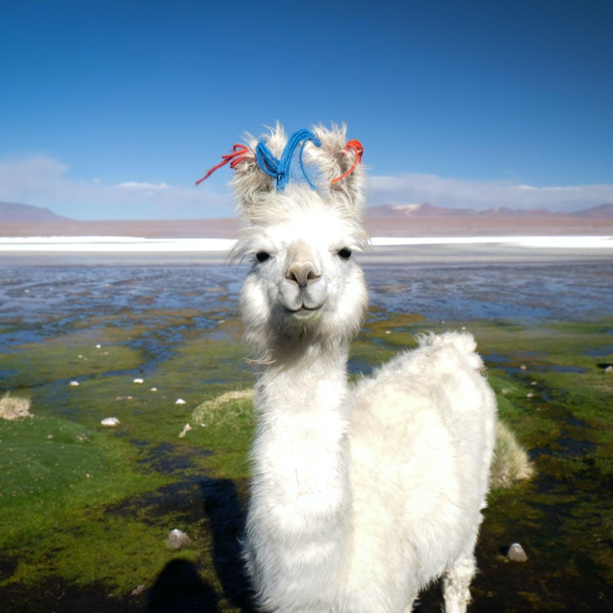 How llamas conquered the world