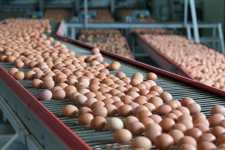egg supply chain Goal to work with suppliers toward transitioning to a shell egg supply chain that is 100 percent cage-free by 2025 as a first step toward its goal, all aldi stores will carry a cage-free shell option by the end of the.