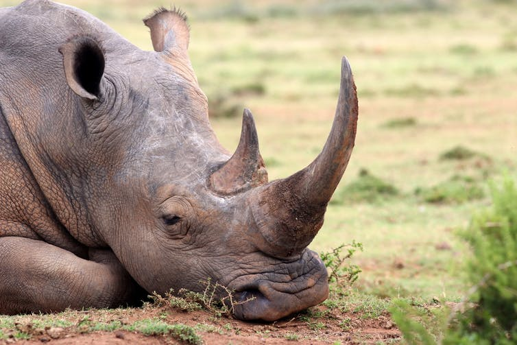 Court grants SA rhino owner permission to auction horns