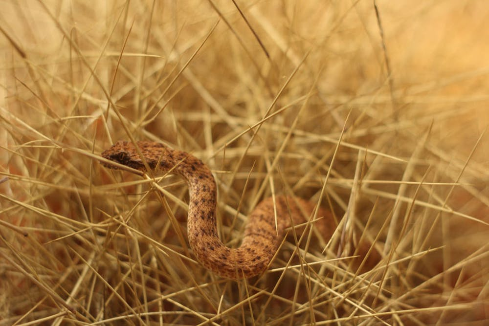 Curious Kids: What happens if a venomous snake bites another