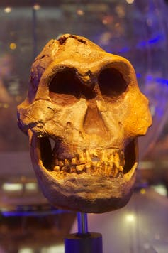 Parathropus robustus skull. Mike Peel (www.mikepeel.net)-wikipedia, CC BY-SA