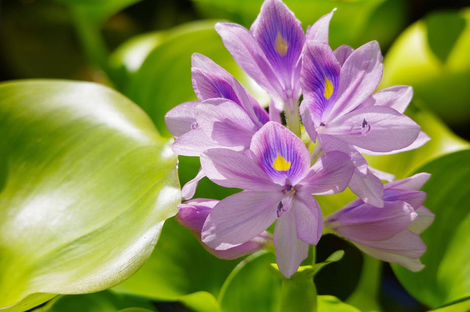 Ethiopia's Lake Tana is losing the fight to water hyacinth