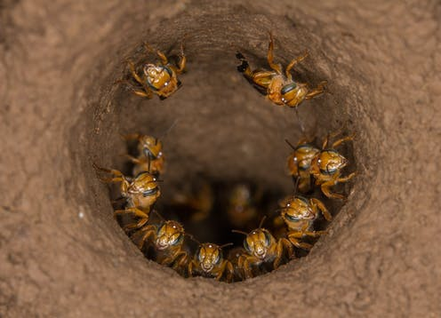 A game of drones: why some bees kill their queens