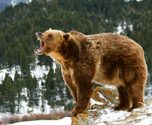 fierce debate roars to life over grizzly bear hunt