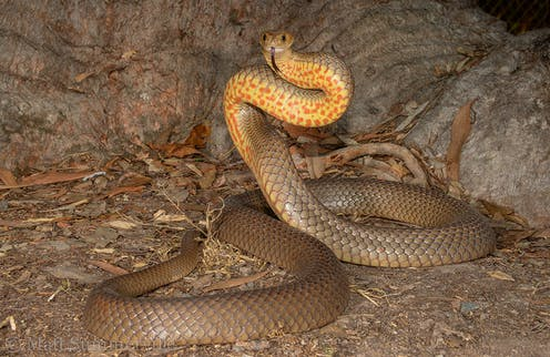 Like alchemists with killer precision, brown snakes make different venoms  across their lifetime