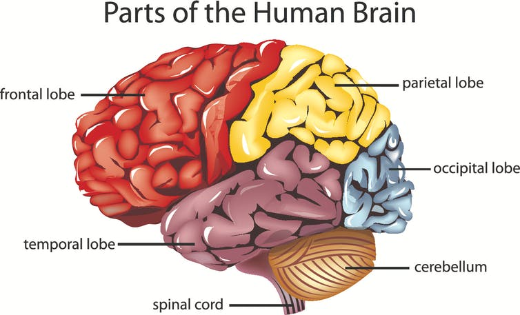 Explainer the brain colour coded lobes of the brain brain diagram from shutterstock ccuart Images