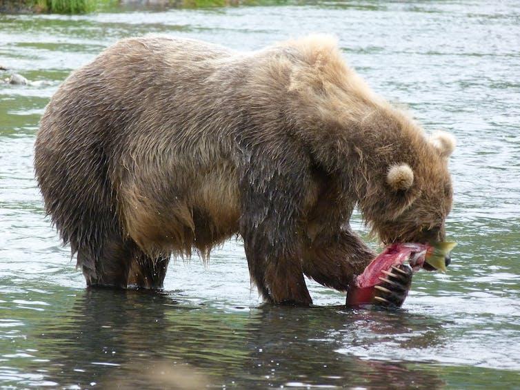 Female bear eating a salmon, Kodiak, Alaska. Credit: Caroline Deacy, CC BY-ND