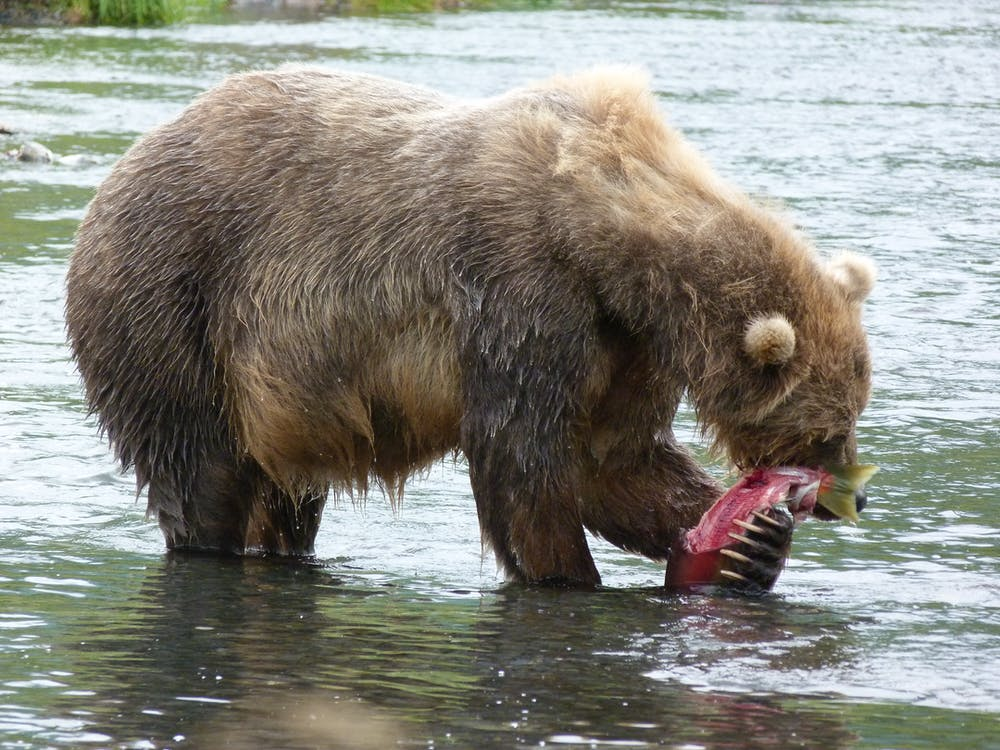 As A Warming Climate Changes Kodiak Bears' Diets, Impacts