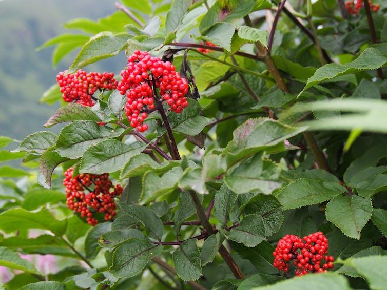 Red elderberries in Kodiak, Alaska. Credit: Caroline Deacy, CC BY-ND