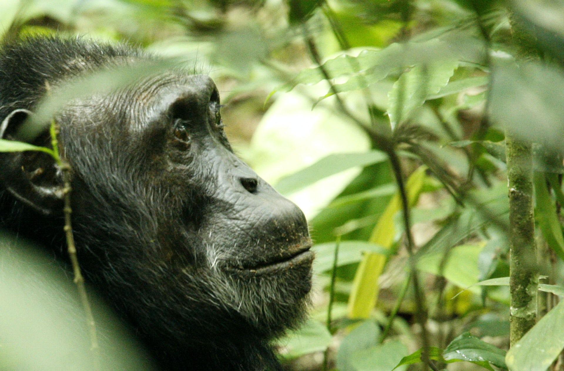 what do chimpanzees eat