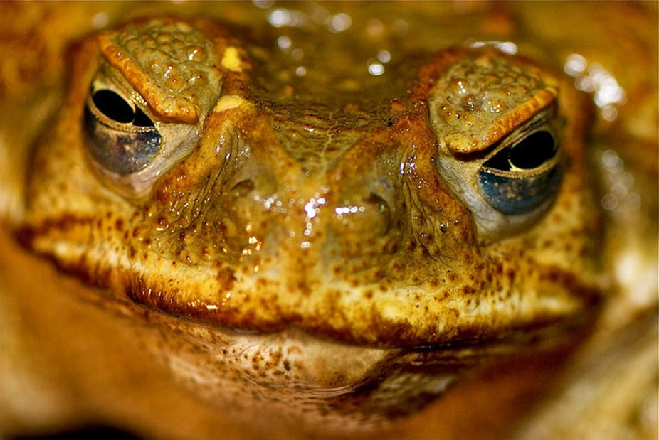 acf3fbb8af5b9 Close 100 man-made lakes to stop cane toad spread: study