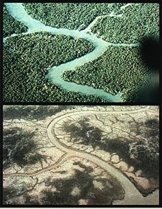 Mangrove forests before and after spraying. Photo / Wikimedia
