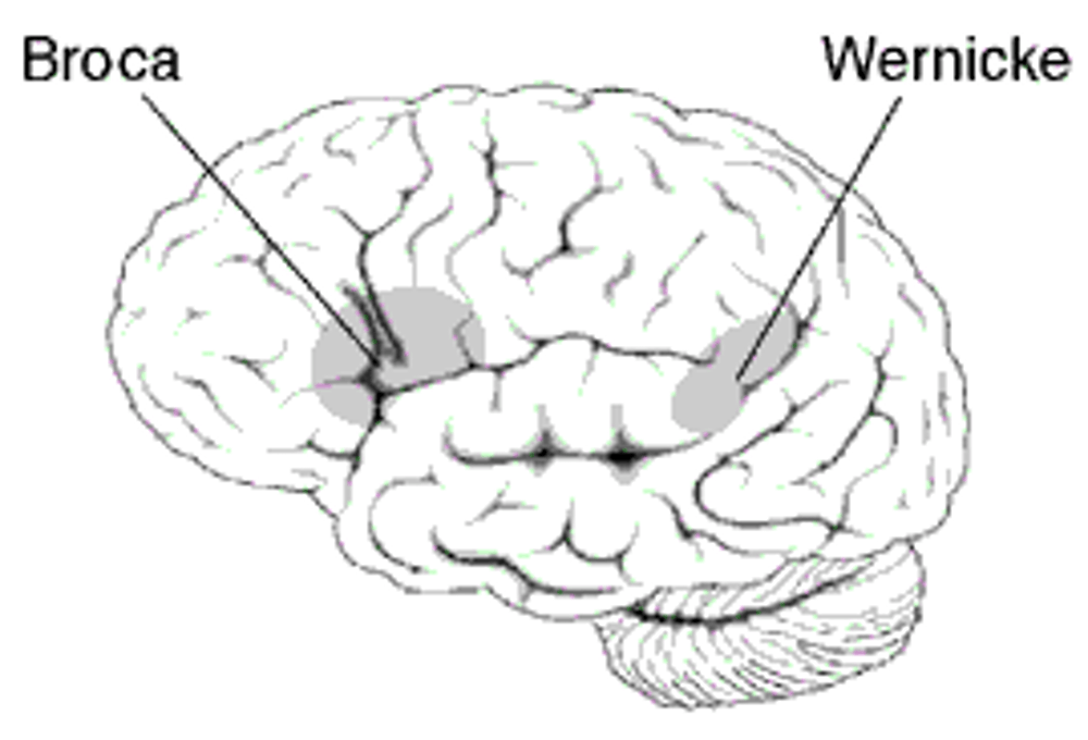 Explainer: the brain