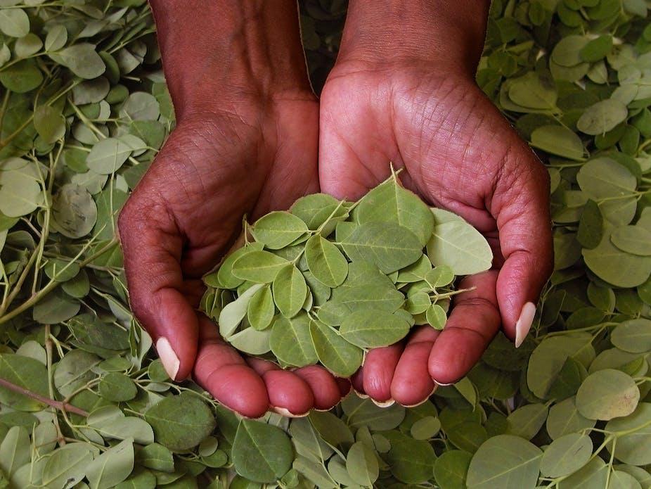Image result for moringa tree