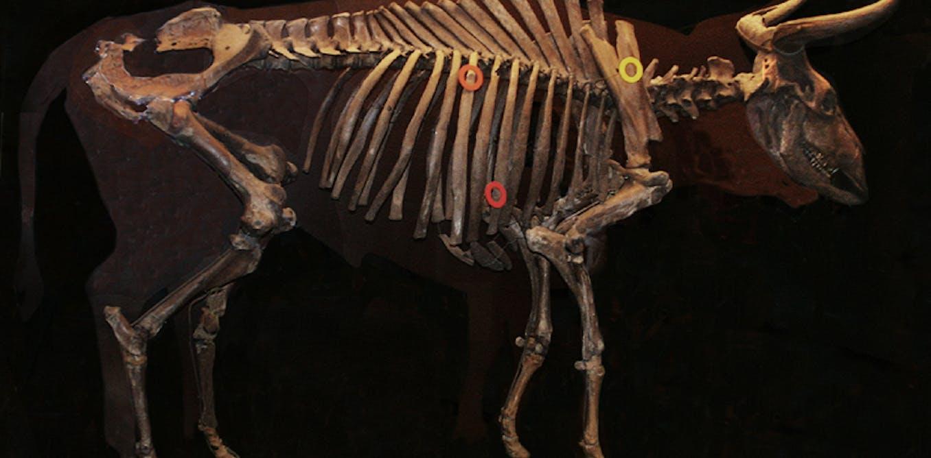 The quest to revive extinct Aurochs to restore ancient lands