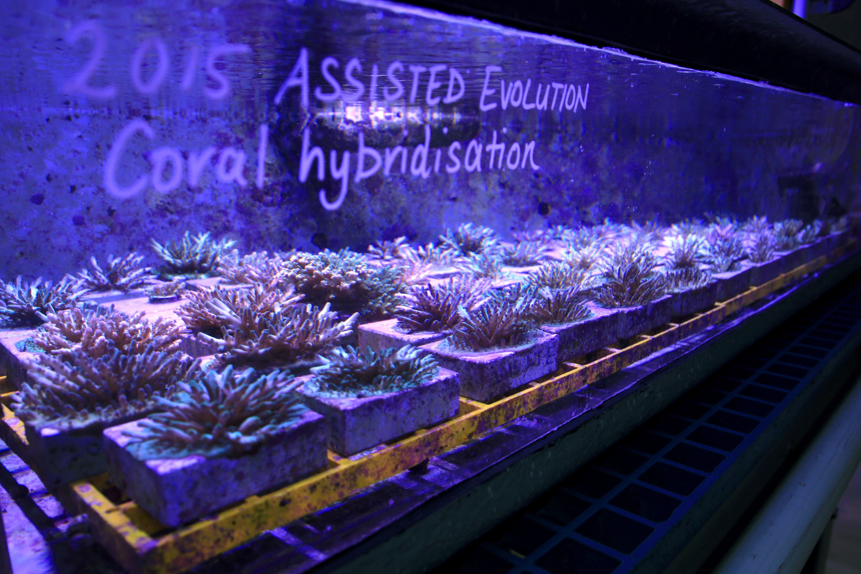Picture showing artificial coral growing