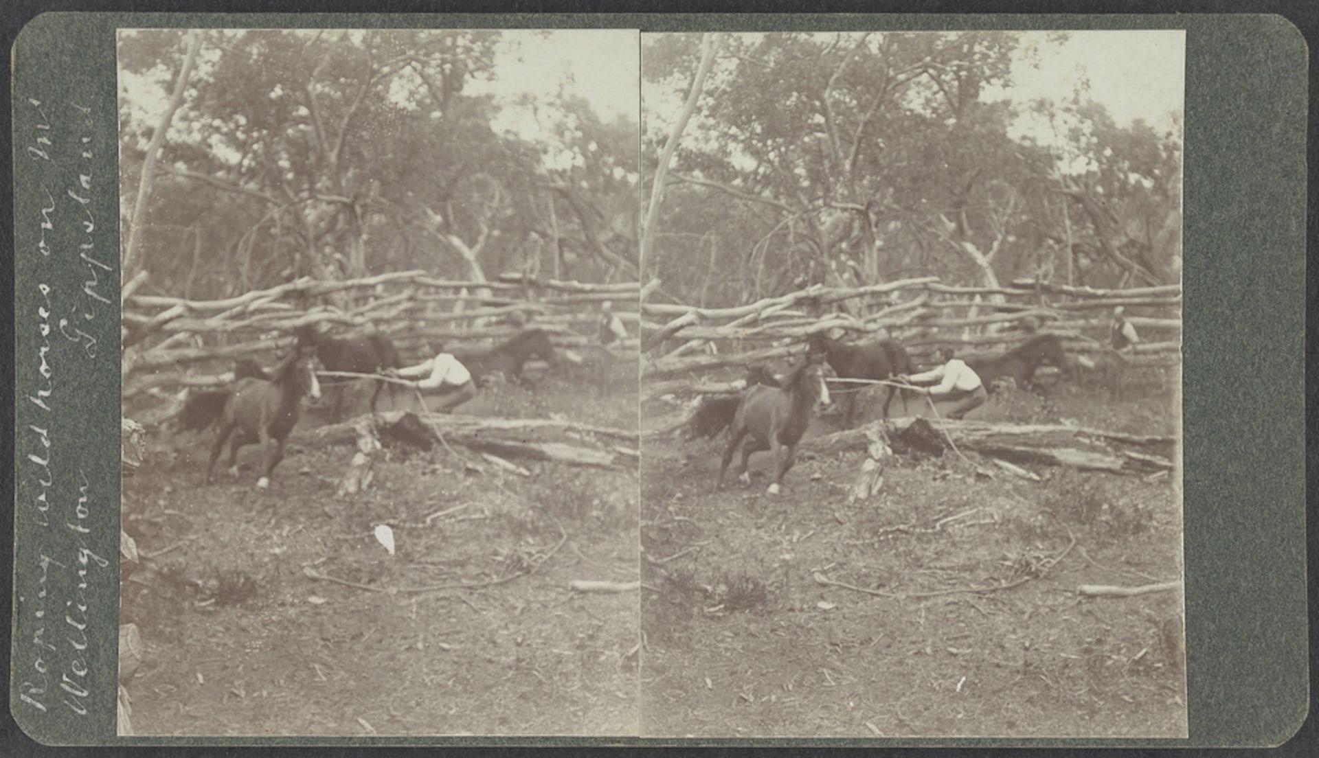 Image of Roping wild horses, Gippsland, Arthur John Waugh