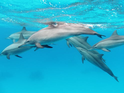 Big Brains May Hold Clues To Origins Of >> Whales And Dolphins Have Rich Cultures And Could Hold Clues To