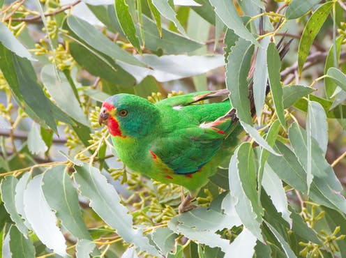 Swift parrots need protection from sugar gliders, but that's