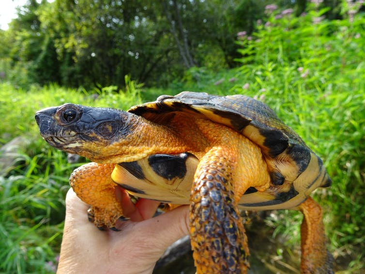 The Illegal Turtle Trade Why I Keep Secrets