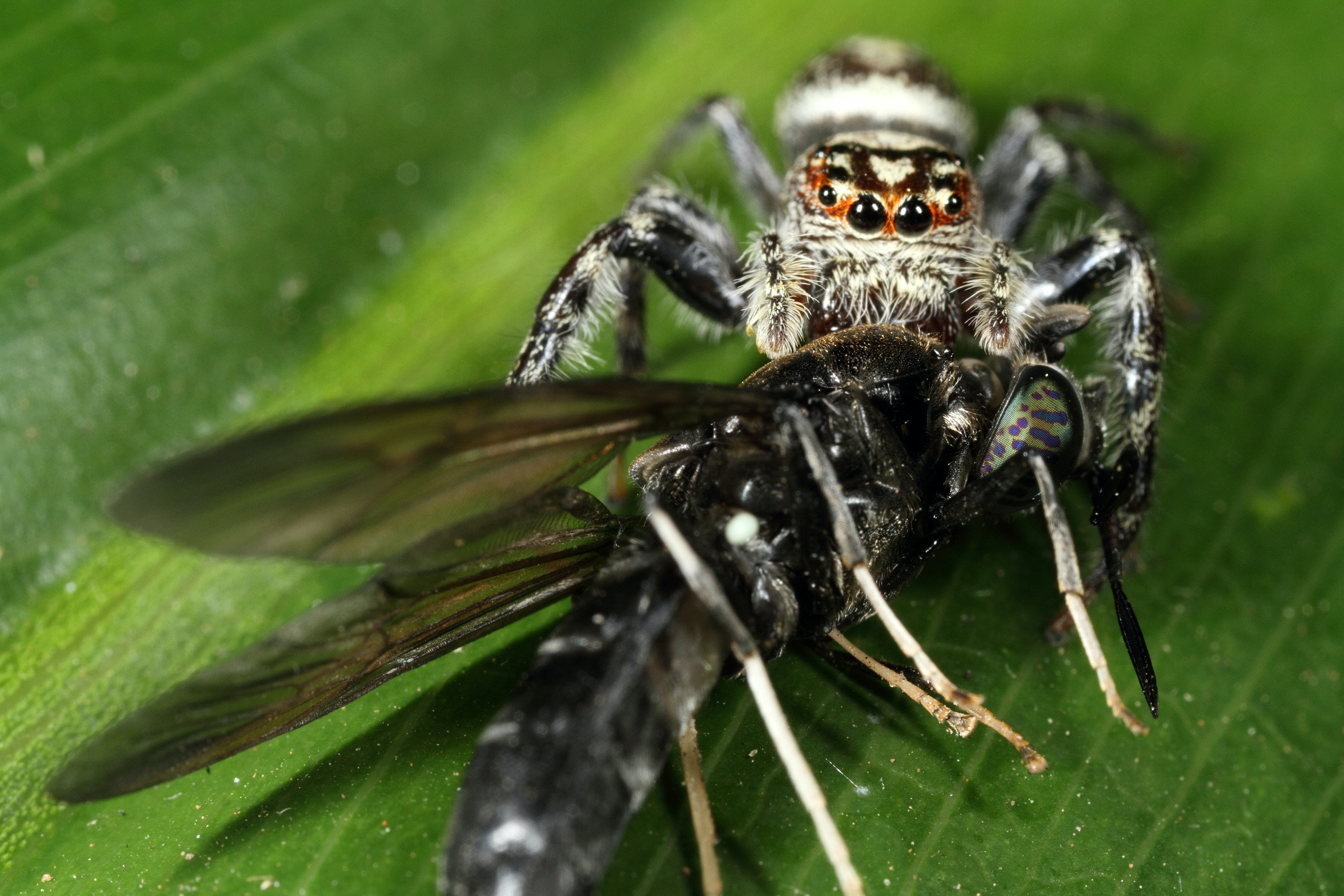 jumping spiders are good at catching large pests like flies jim mclean author provided