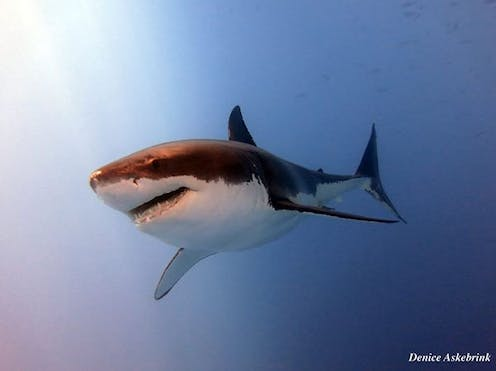 Why do shark bites seem to be more deadly in Australia than