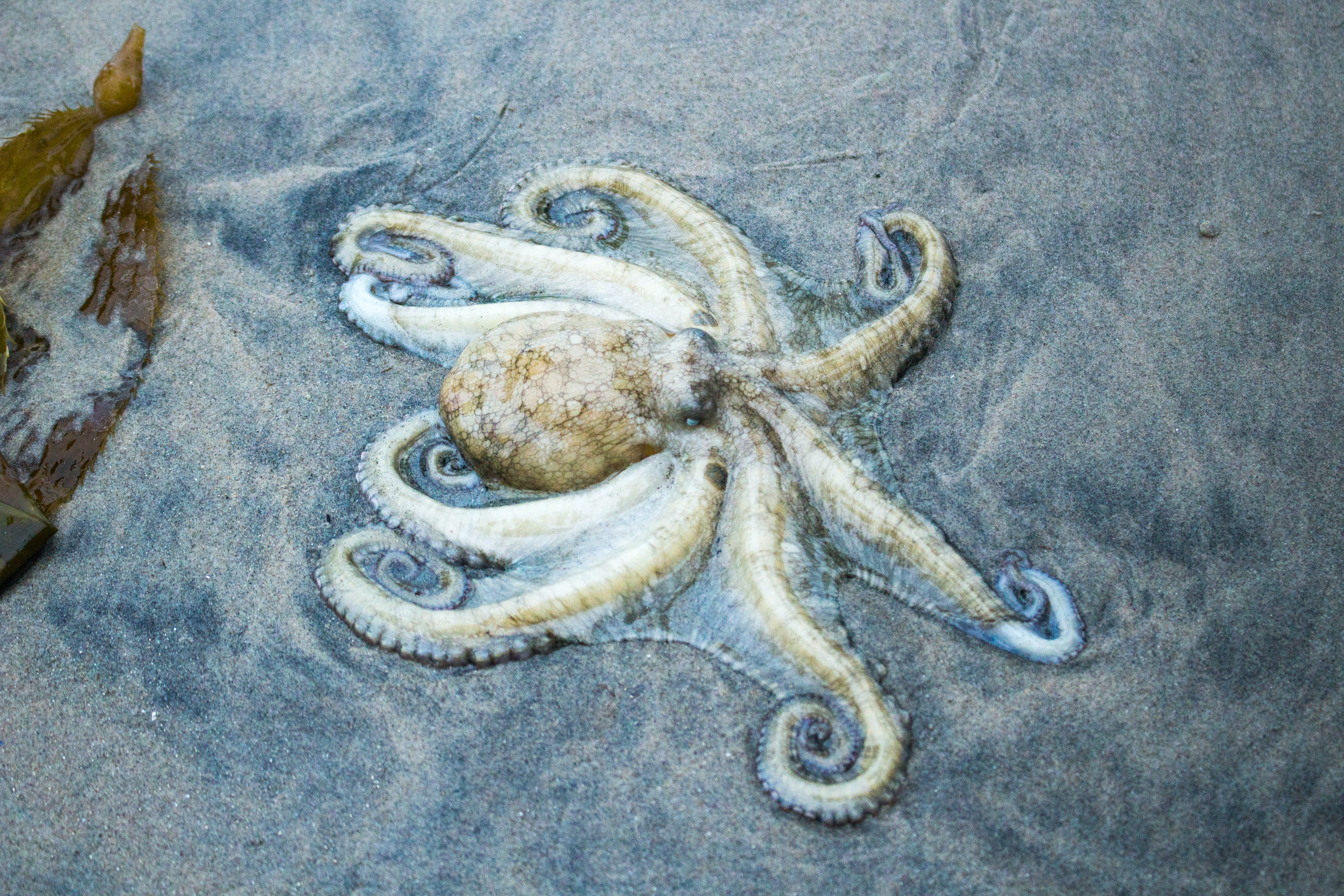 octopuses invade welsh beach u2013 here are the scientific theories why