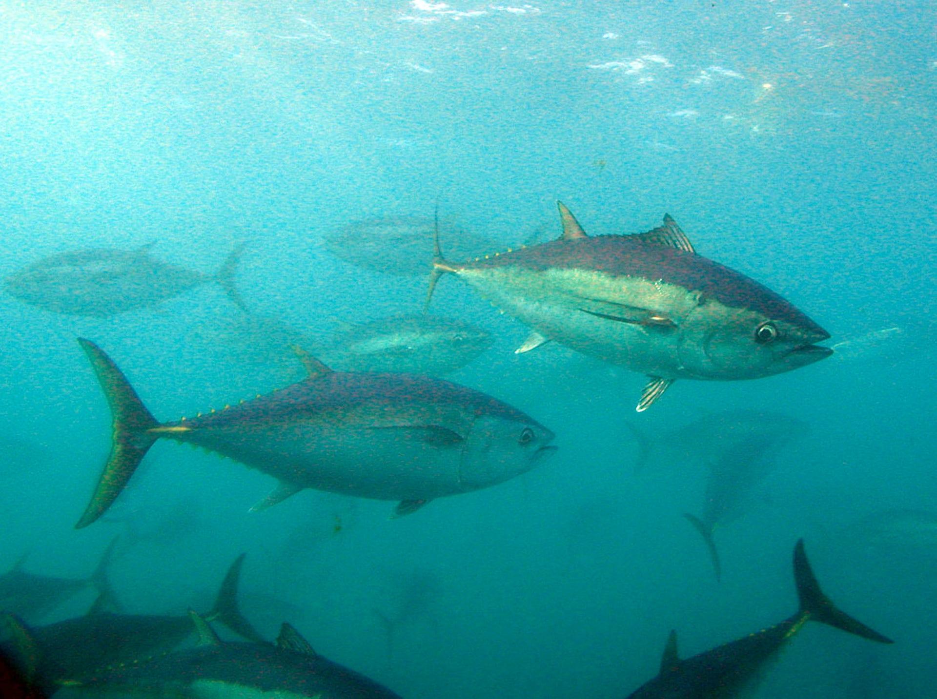 Australian Endangered Species Southern Bluefin Tuna