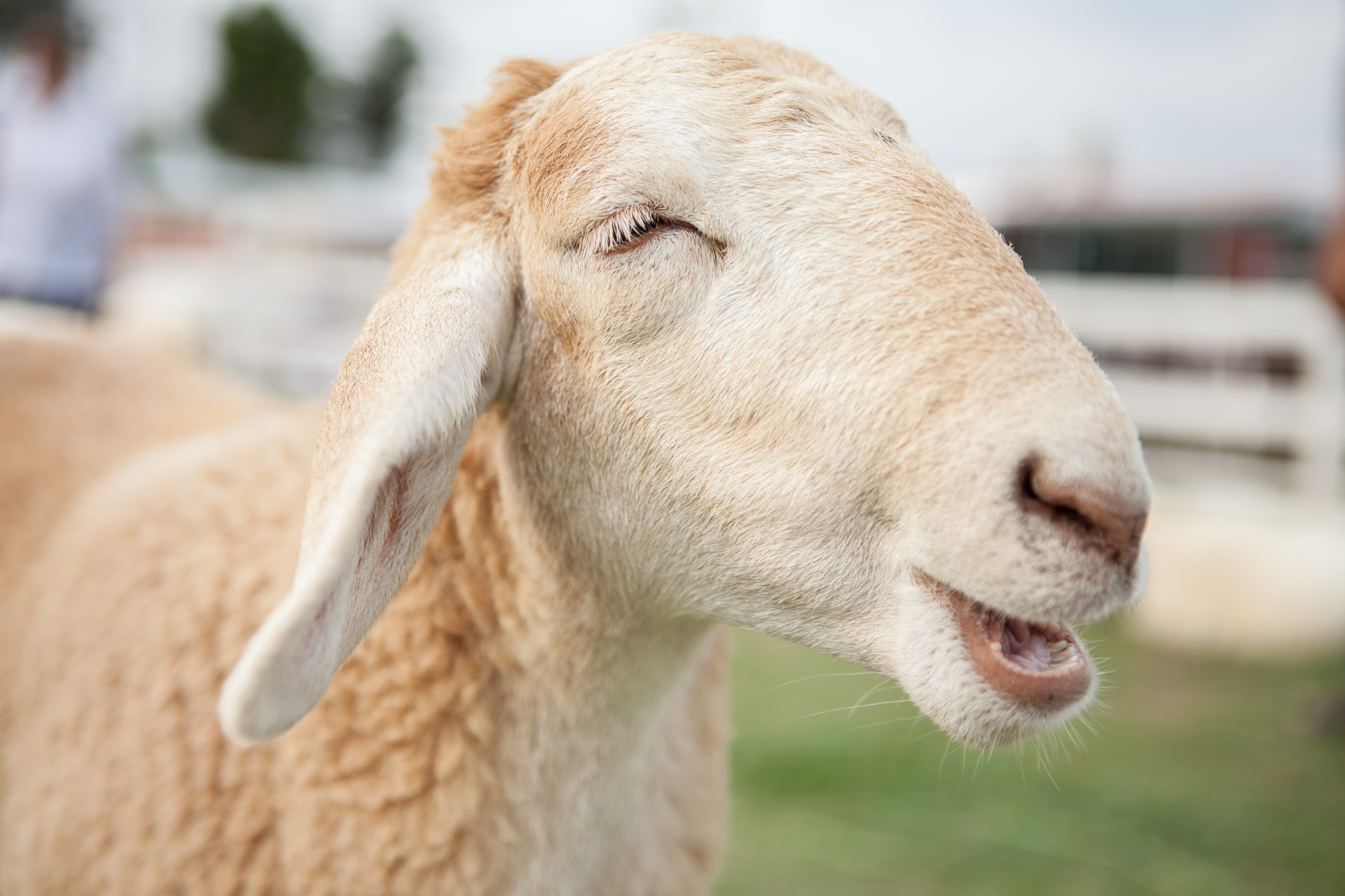 Sheep can learn to recognize faces, research shows
