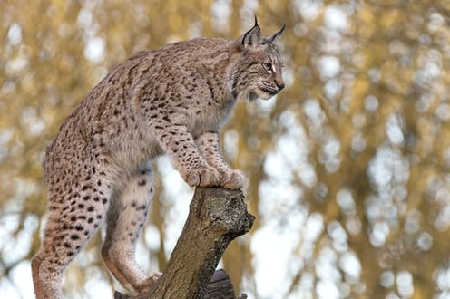 Lynx on the loose.