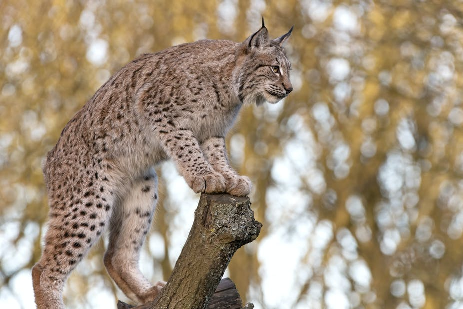 fact check was it right to kill lilith the escaped lynx