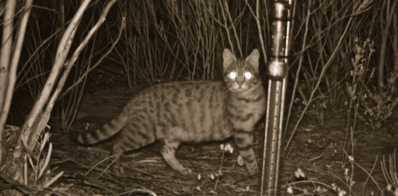 Feral felines: managing their impact on native fauna