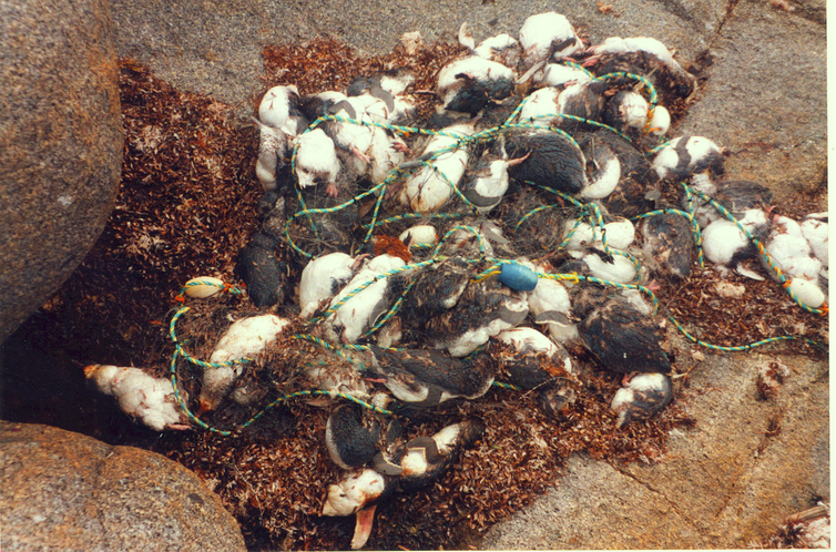 penguins trapped in nets