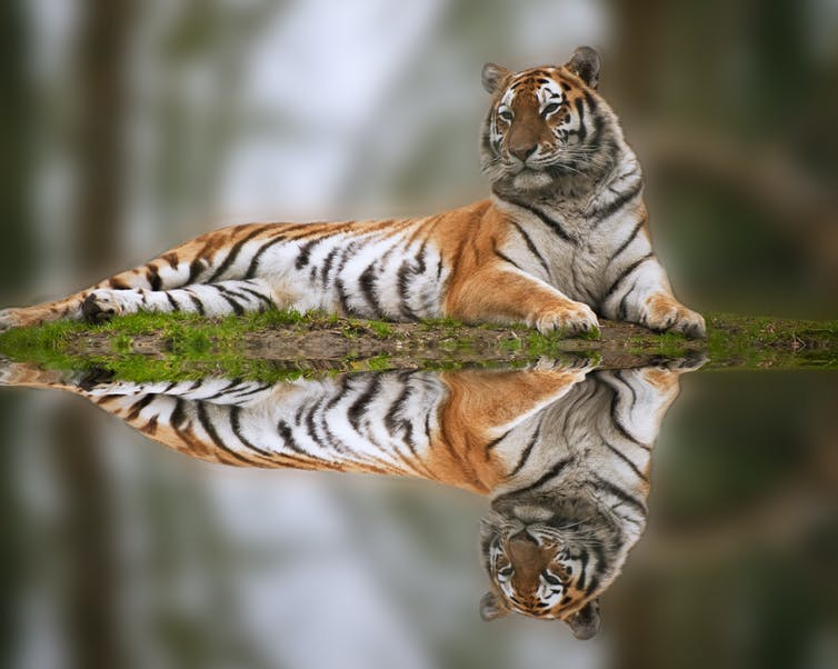 A tiger relaxes along a grassy bank.