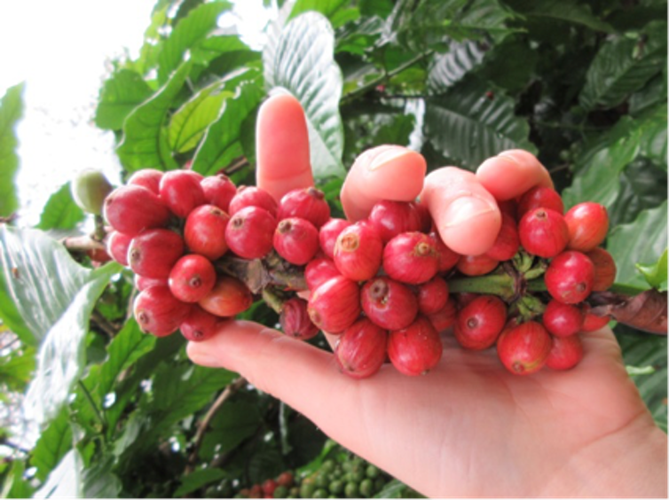 Going to ground: how used coffee beans can help your garden and your health