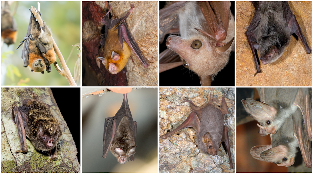 A Selection Of Australia S Bat Diversity Top Row From Left Grey Headed Flying Fox Orange Leaf Nosed Common Blossom Southern Myotis