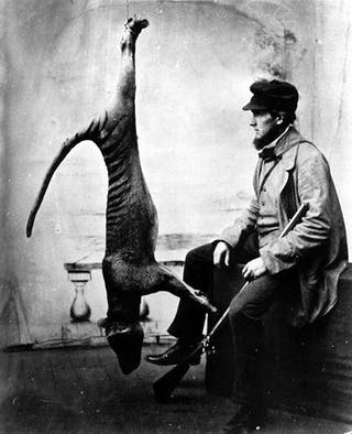 Tasmanian Tigers Were Going Extinct Before We Pushed Them Over The Edge