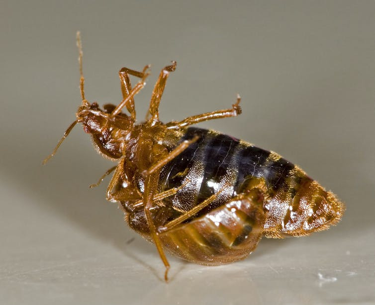 Everything you never wanted to know about bed bugs, and more