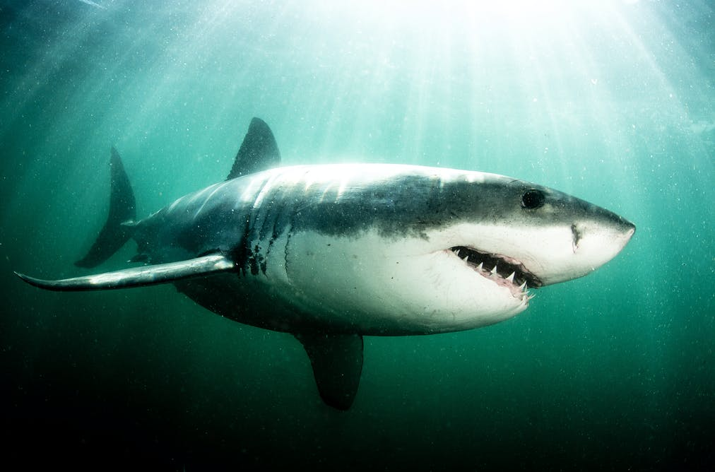 world first genetic analysis reveals aussie white shark numbers how shark spotting can help reduce attacks a cape town case study