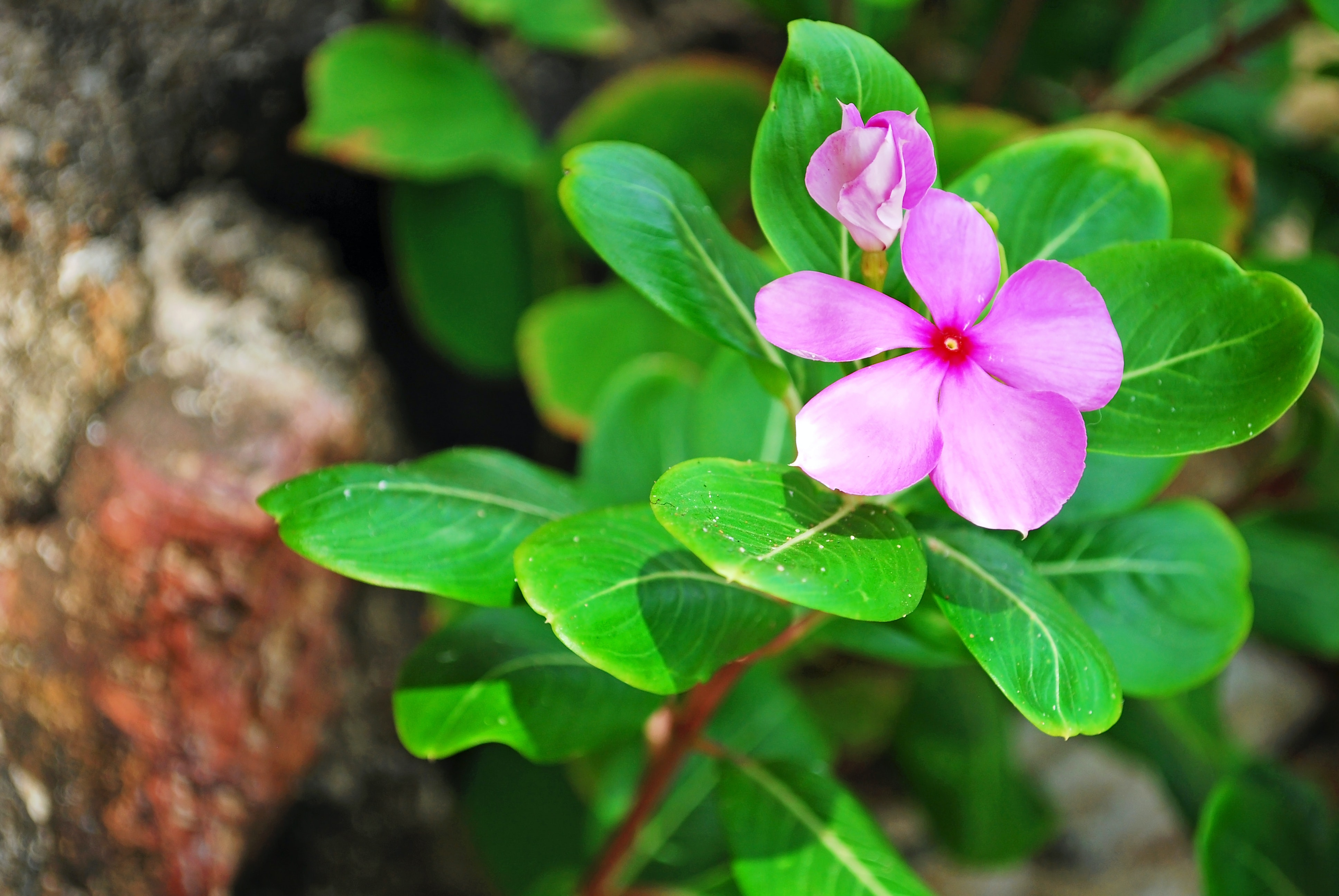 The Madagascar Periwinkle plant. (Shutterstock)