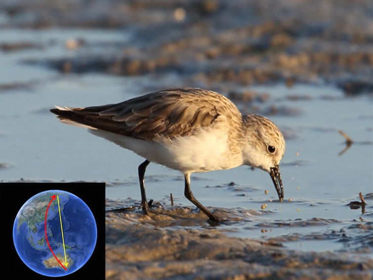 The Red-necked stint is highly exposed to sediment microbes as it forages for the microscopic invertebrates that fuel its vast migrations. Credit: Author provided